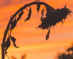 枯れたヒマワリの写真