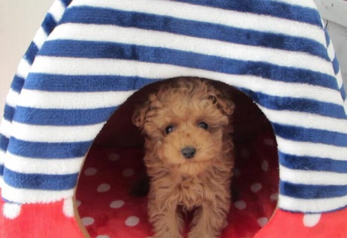トイプードルのライトが犬用ベッドに入っている写真