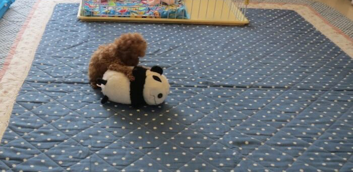 パンダのぬいぐるみで遊んでいるトイプードル
