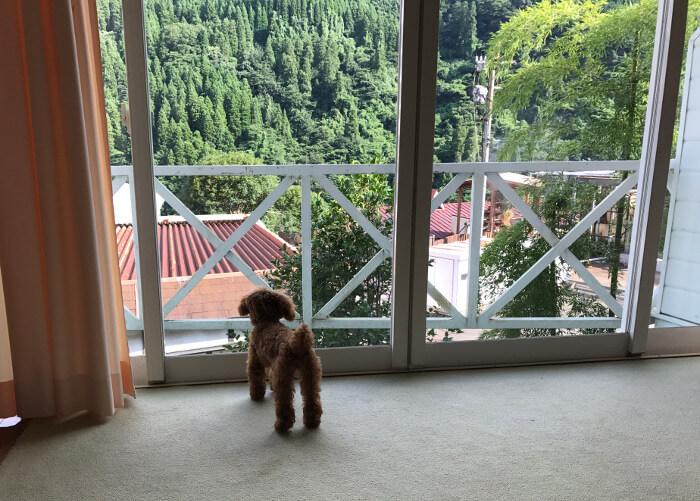 ホテルの部屋から外を眺めるトイプードル